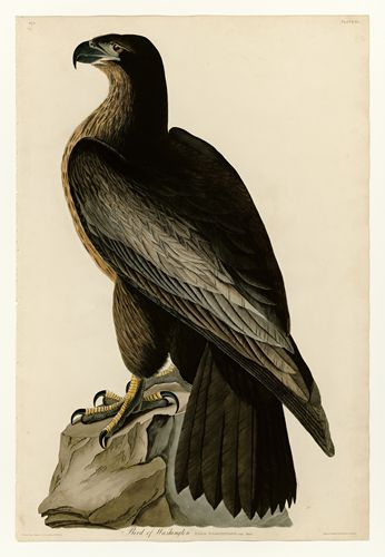 Audubon - Bird of Washington - Plate 11