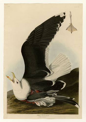 Audubon - Black Backed Gull - Plate 241