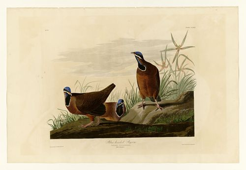 Audubon - Blue-headed Pigeon - Plate 172