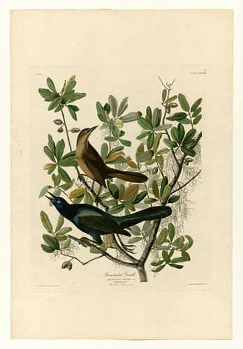 Audubon - Boat-tailed Grackle - Plate 187