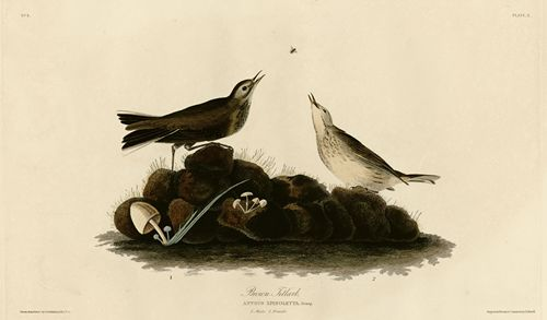 Audubon - Brown Titlark - Plate 10