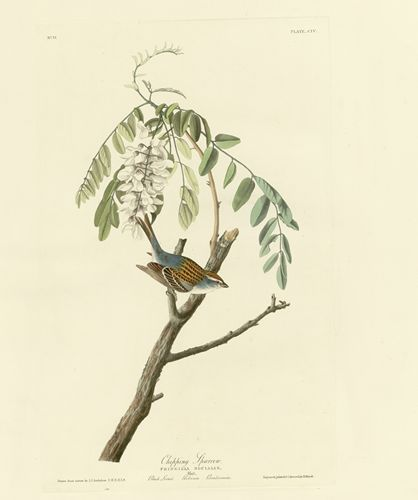 Audubon - Chipping Sparrow - Plate 104