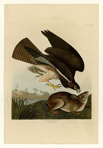 Audubon - Common Buzzard - Plate 372