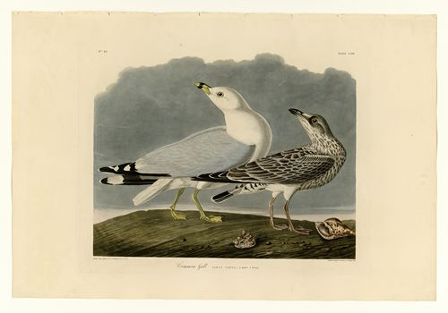 Audubon - Common Gull - Plate 212