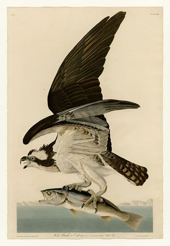 Audubon - Fish Hawk or Osprey Plate 81