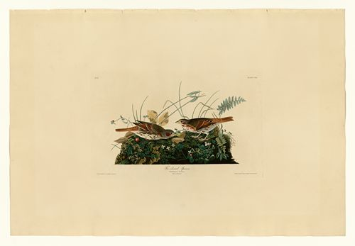 Audubon - Fox-coloured Sparrow - Plate 108