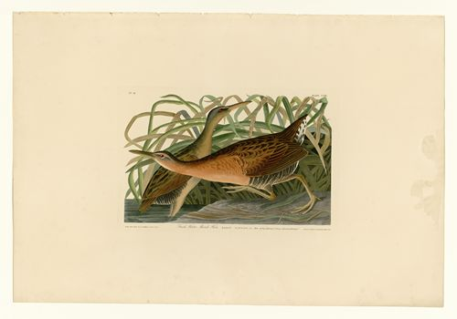 Audubon - Fresh Water Marsh Hen - Plate 203