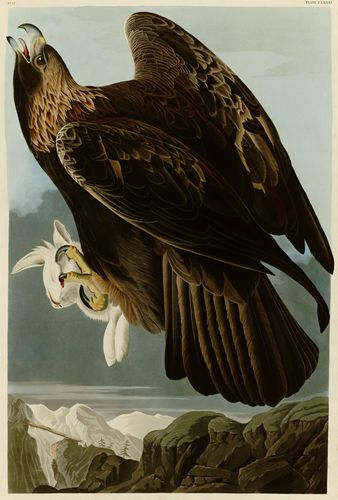 Audubon - Golden Eagle - Plate 181