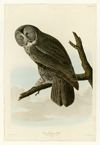 Audubon - Great Cinereous Owl - Plate 351