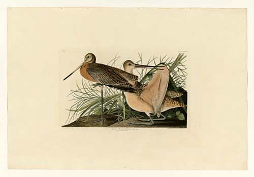 Audubon - Great Marbled Godwit - Plate 238