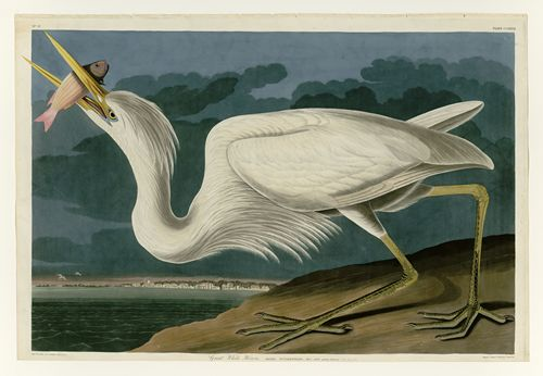 Audubon - Great White Heron - Plate 281