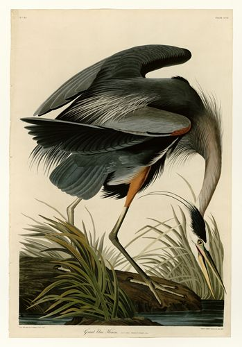Audubon - Great blue Heron - Plate 211