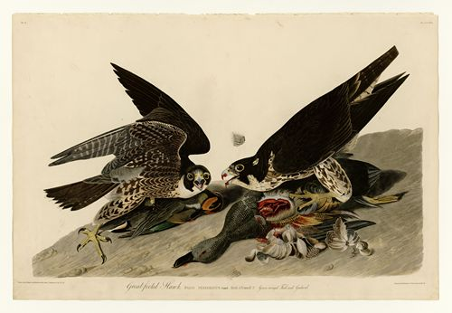 Audubon - Great-footed Hawk - Plate 16