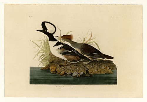 Audubon - Hooded Merganser - Plate 232