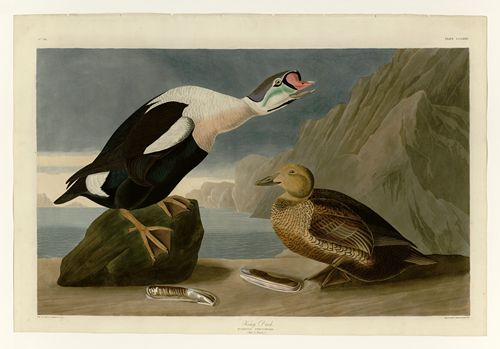Audubon - King Duck - Plate 276