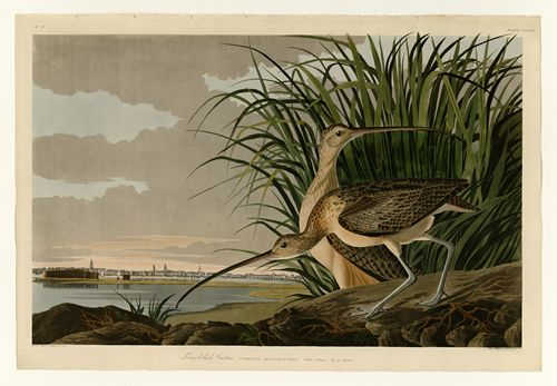 Audubon - Long-billed Curlew - Plate 231