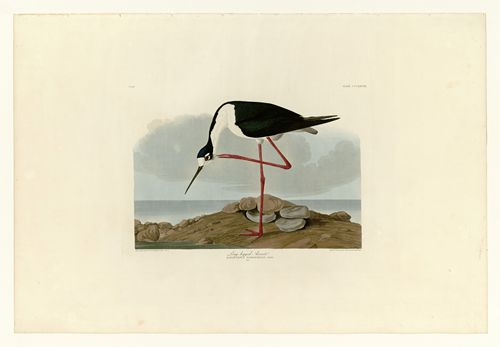Audubon - Long-legged Avocet - Plate 328