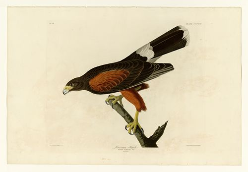 Audubon - Louisiana Hawk - Plate 392