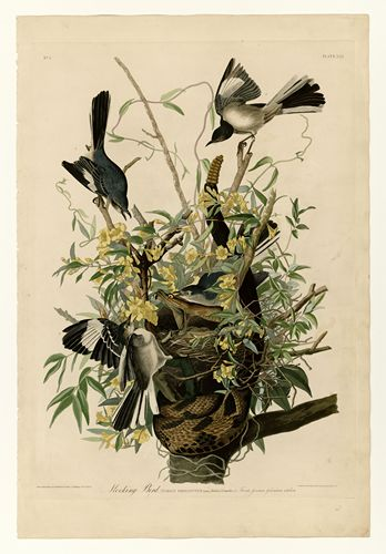 Audubon - Mocking Bird - Plate 21