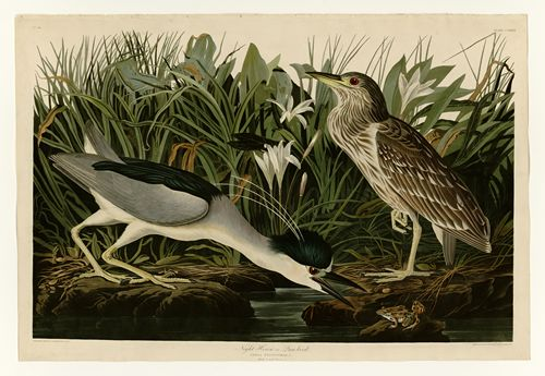 Audubon - Night Heron - Plate 236