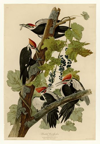 Audubon - Pileated Woodpecker - Plate 111