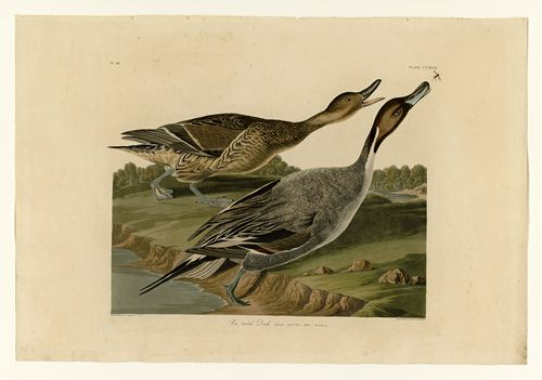 Audubon - Pin tailed Duck - Plate 227
