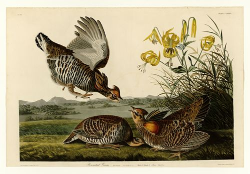 Audubon - Pinnated Grouse - Plate 186
