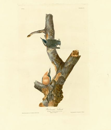 Audubon - Red breasted Nuthatch - Plate 105