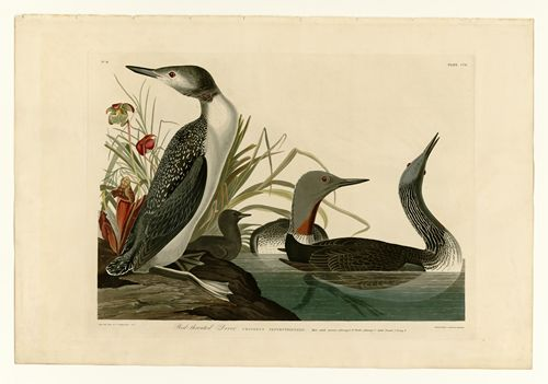 Audubon - Red-Throated Diver - Plate 202