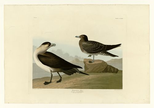 Audubon - Richardsons Jager - Plate 272