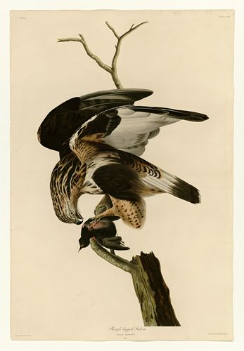 Audubon - Rough-legged Falcon - Plate 166