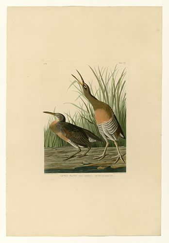 Audubon - Salt Water Marsh Hen - Plate 204