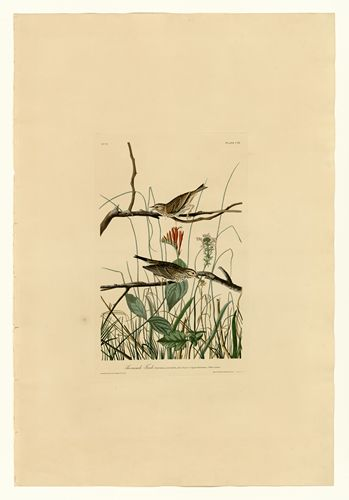 Audubon - Savannah Finch - Plate 109